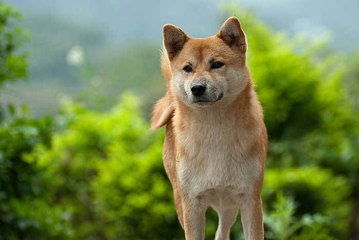 250 Japanese Dog Names & Meanings (Fuji, Hiroshi, Sushi & More….)