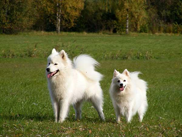Samoyed and japanese spitz in park