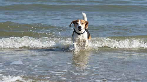 beagle dog swimming