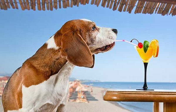 dog drinking orange juice at the beach