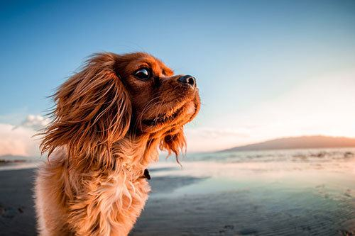 cavalier king charles spaniel at beach