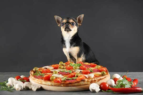 chihuahua dog and olive pizza