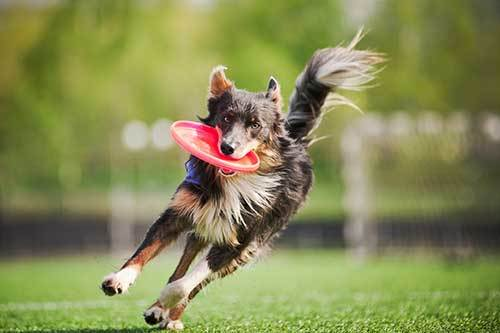border collie dog brings flying disc