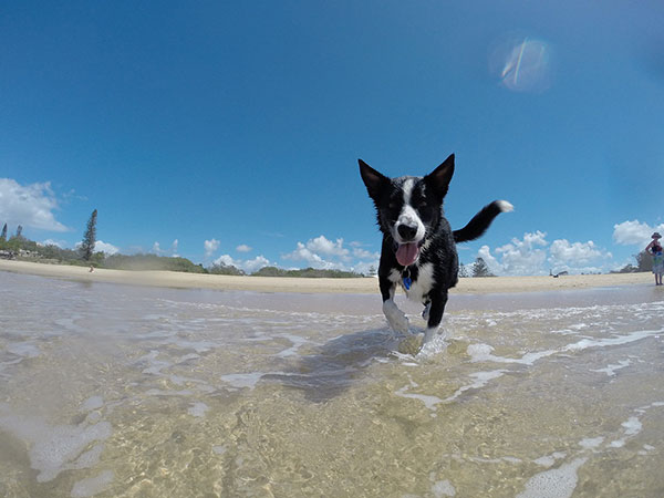 Happy dog running summer time at the beach