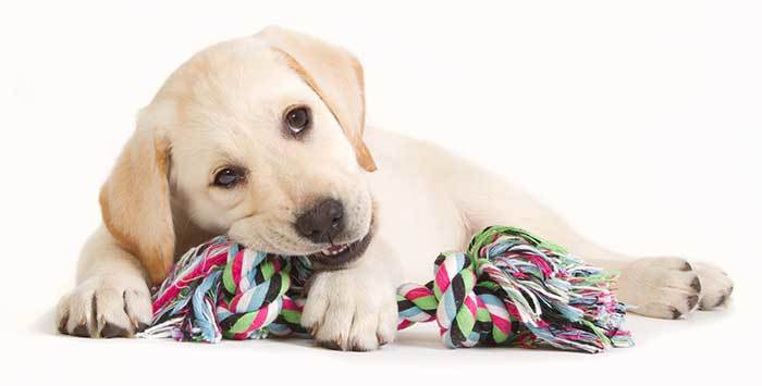 Labrador Retriever Puppy Biting His Toy