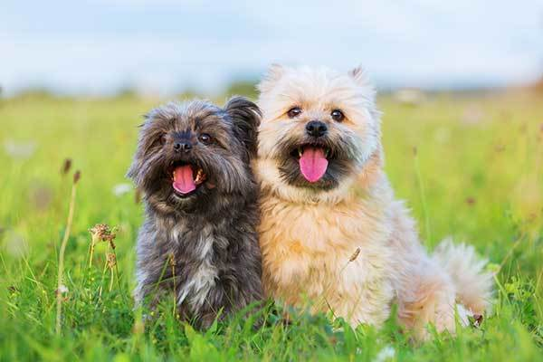Two Havanese Hybrid dogs
