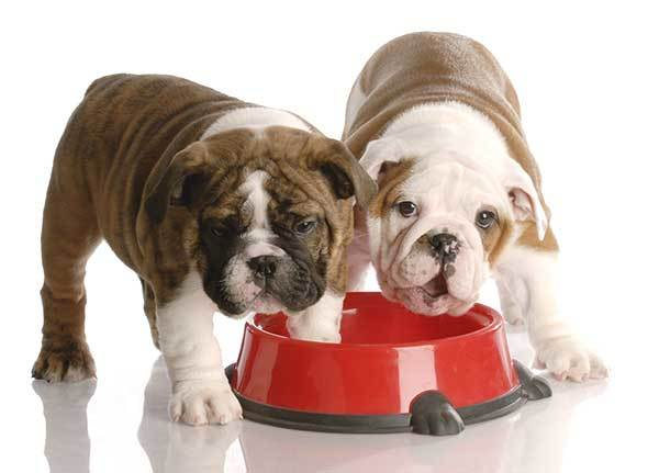 nine weeks old English bulldog puppies eating from their red food dish