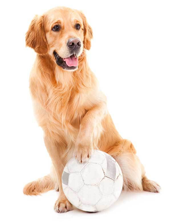 Golden Retriever dog Playing with a ball