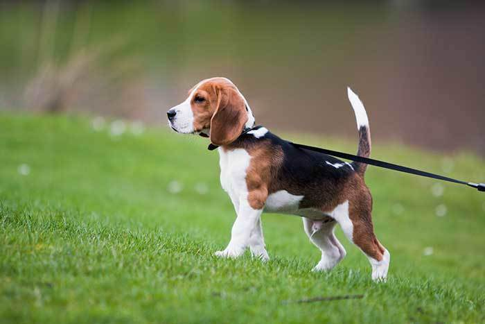 beagle dog in the park