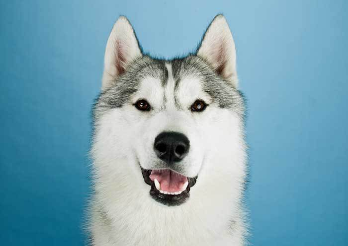 husky dog laughing