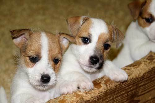 3 cute jack russell puppies