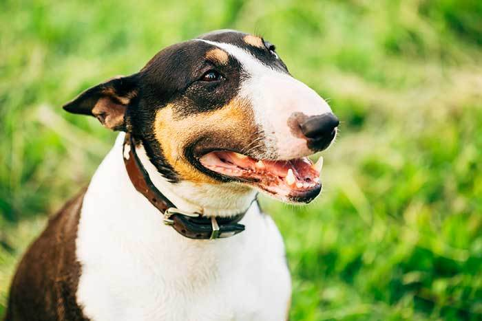 are bull terriers aggressive?