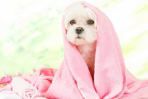 dog after bath with towel