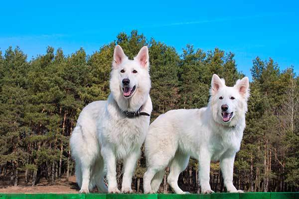 Two white Swiss Shepherdd