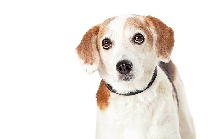 Beagle mix dogs guide