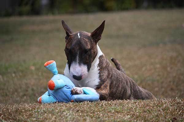 bull terrier dog playing with his toy