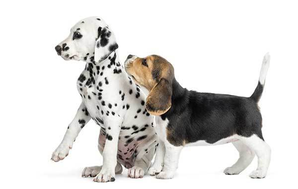 Beagle Puppy Sniffing Dalmatian Puppy
