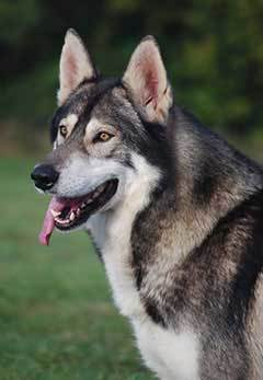 male northern inuit dog