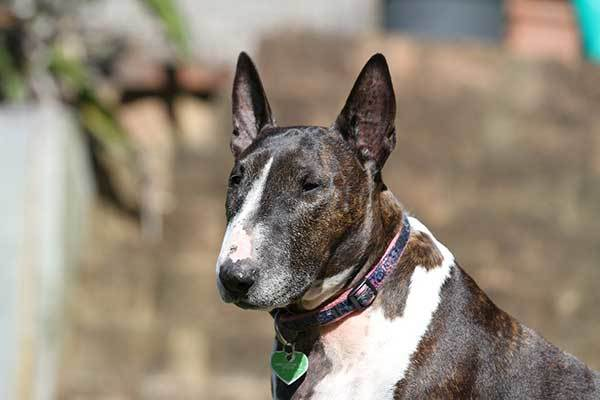 purbred bull terrier dog