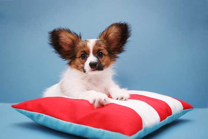 cute papillon dog on pillow