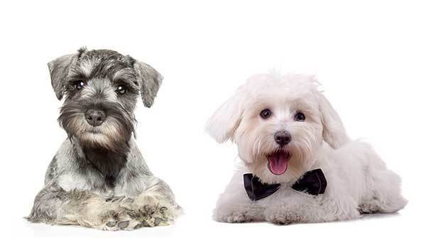 Maltese Miniature Schnauzer Mix Facts
