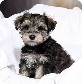 Miniature Schnauzer Maltese Mix