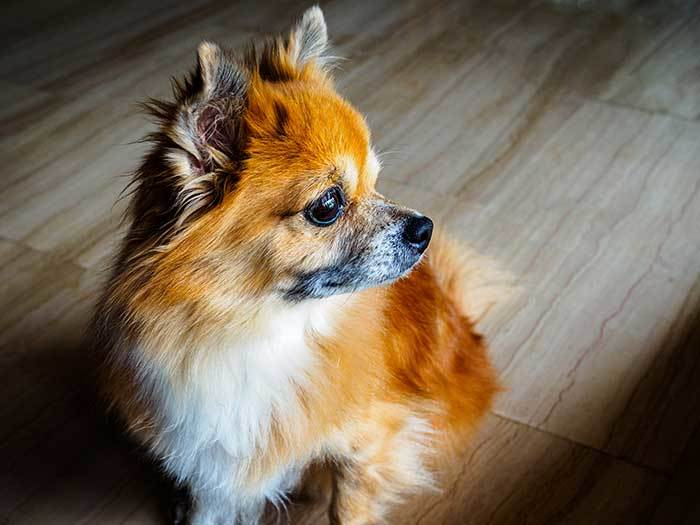 Pomeranian and Chihuahua Mixed Dog