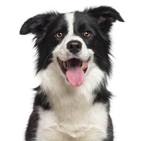border collie laughing