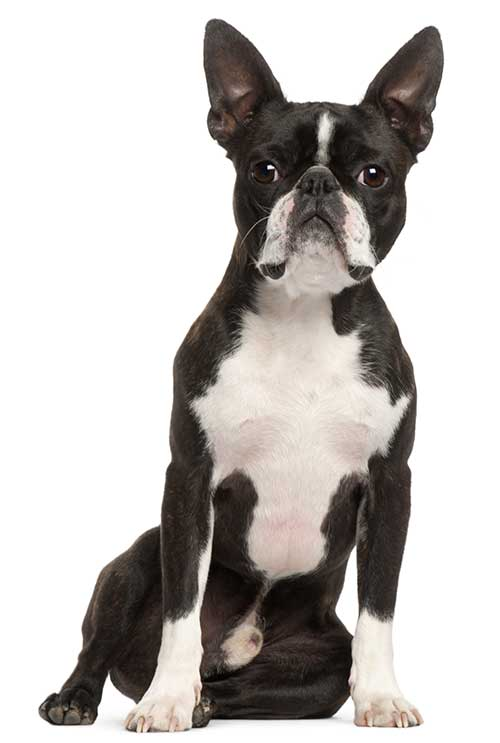 1 year old boston terrier dog