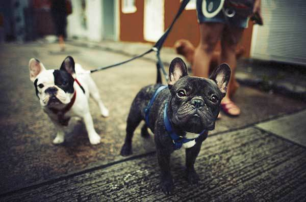 Are French Bulldogs Good With Other Dogs?