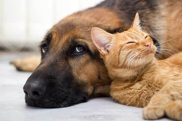 How to Train Your German shepherd To Love Cats?