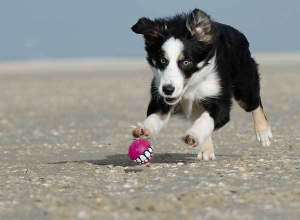 border collie dog playing at beach