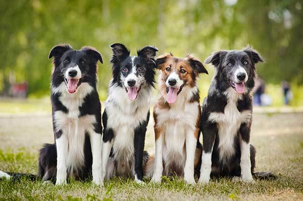 Are border collies barkers?