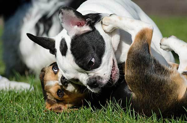 French Bulldog Playing With A Beagle Dog