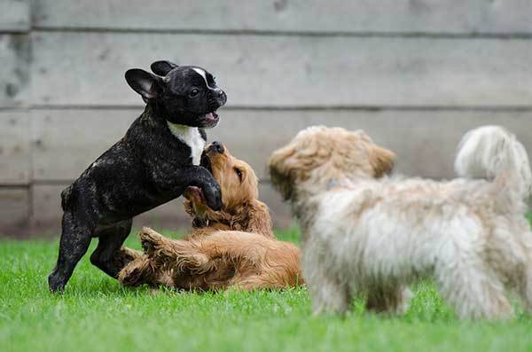How to Introduce your Frenchie to Other Dogs?