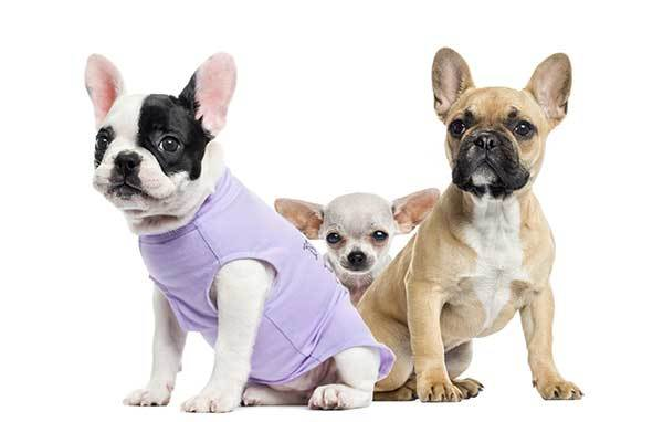 two french bulldogs and cute chihuahua dog