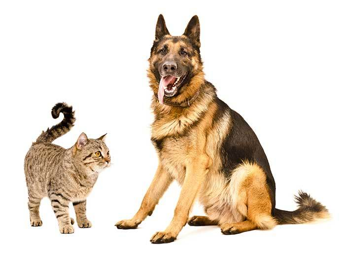Introducing a German shepherd and a Cat