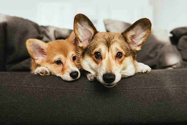two adorable welsh corgi dogs laying on sofa at home