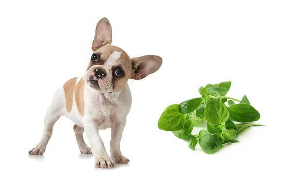 can dogs eat oregano?