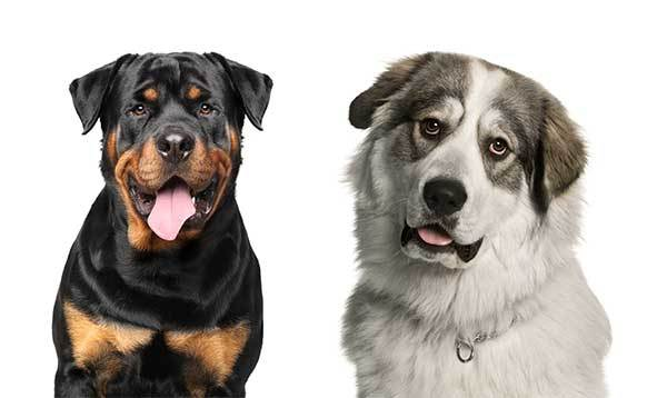 great pyrenees rottweiler mix guide