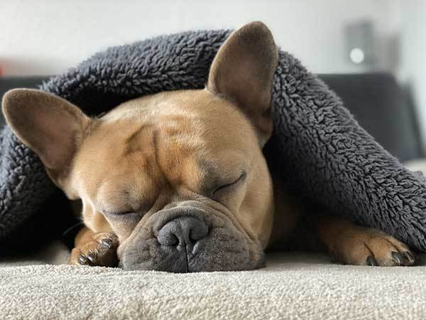 french bulldog puppy sleeping under blanket