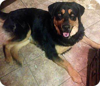 great pyrenees rottweiler mix dog