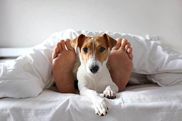 sleeping man's feet with jack russel dog