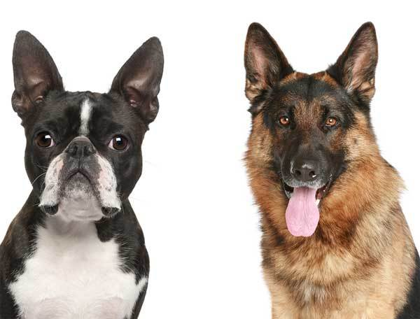 German Shepherd and Boston Terrier