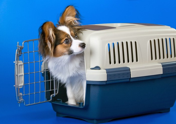 papillon dog in crate