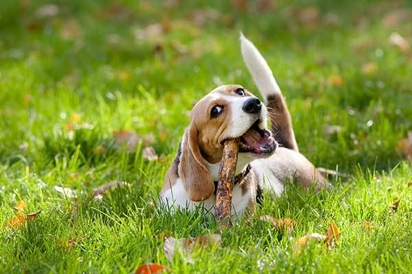 cute beagle playing in park