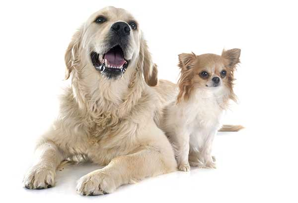 Chihuahua dog with Golden Retriever