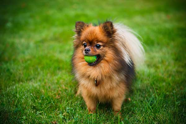Pomeranian dog with a ball in the park