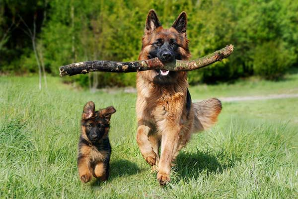 Happy German Shepherd Dog And Puppy