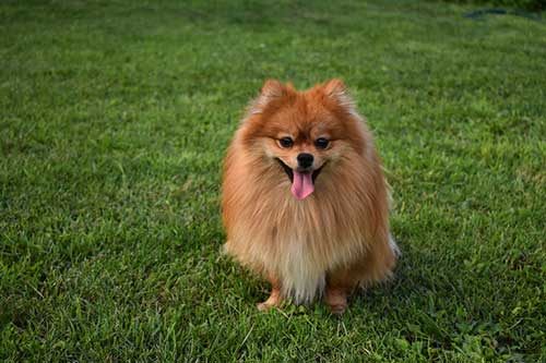 Pomeranian dog smiling